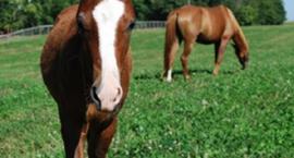 4 kwartały w żywieniu koni - II kwartał