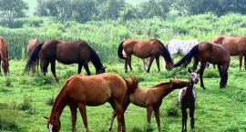 Rasy koni w Polsce - maści mieszane