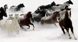 Konie maści rozjaśnianych - biało szarej