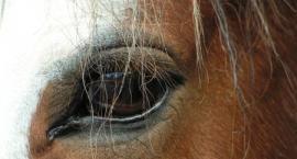Właściciel koni z Prądzewa oskarżony