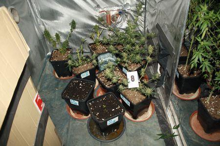 zbiorcza, Plantacja marihuany ujawniona - zdjęcie, fotografia