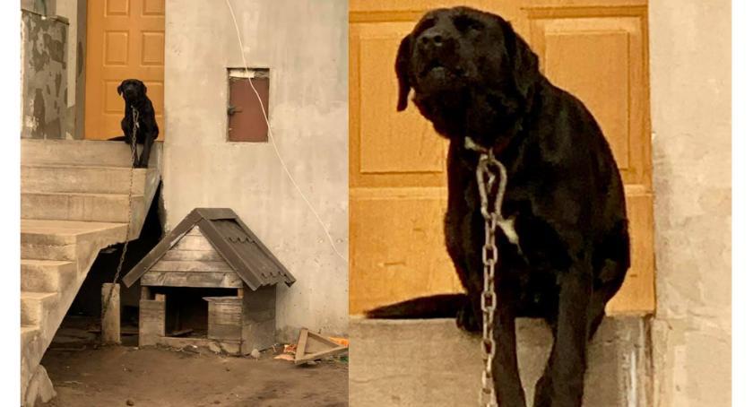 Zwierzaki do adopcji, Przywiązany ciężkim łańcuchu Reksa pilnie potrzebny! - zdjęcie, fotografia