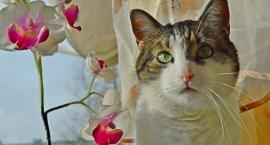Zaginął w Oławie kot i imieniu Flik