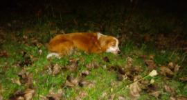 Potrącony pies pozostawiony na ulicy