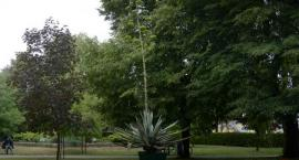 Zakwitła agawa przed Starostwem