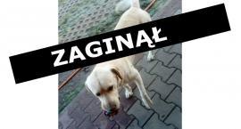 Zaginął labrador