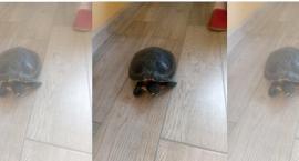 Po osiedlu chodził żółw...