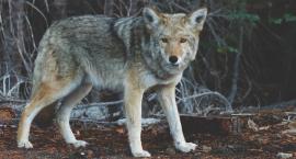 Uwaga! W naszych lasach pojawiły się wilki [VIDEO]