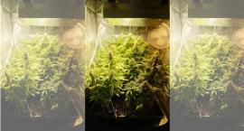 Zasadził w domu marihuanę. Wpadł przez rodzinną kłótnię