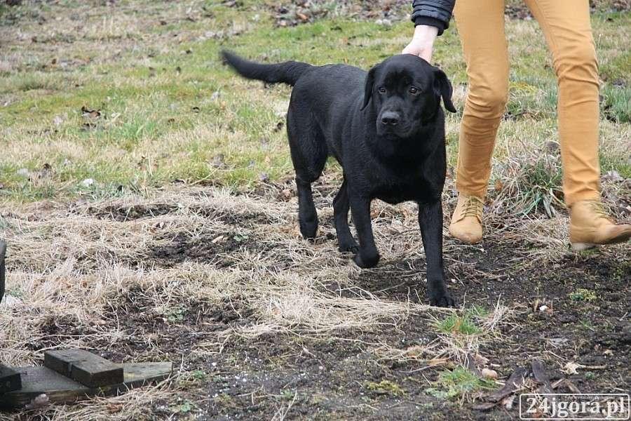 Zwierzęta, Znaleziono labradora - zdjęcie, fotografia
