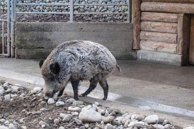 Zwierzęta, Marian Zagórny oskarżony znęcanie dzikiem ruszył proces - zdjęcie, fotografia