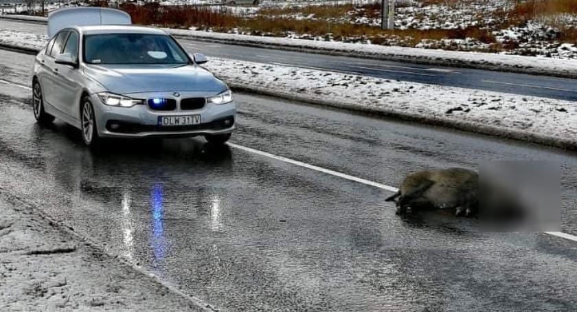 Wypadki drogowe, Jelenia Góra Samochód śmiertelnie potrącił dzika - zdjęcie, fotografia