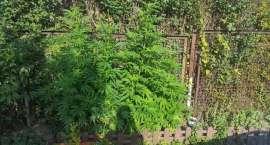 Policjanci zabezpieczyli krzewy konopi oraz amfetaminę.
