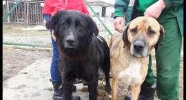 Dwa psy na łańcuchu w lesie. Apel o pomoc w ustaleniu właściciela