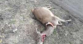 Psy zagryzają jelenie