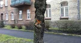 Będzie wycinka drzew przy ul. Drzymały