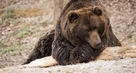 Są rysie i wilki, czas na niedźwiedzia