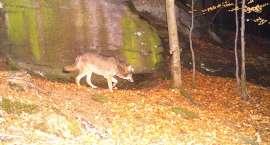 Wilki wróciły w Karkonosze