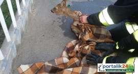 Rośnie ilość incydentów związanych z dzikimi zwierzętami