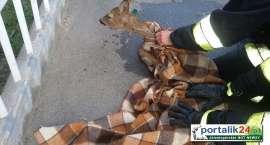 Strażacy uratowali uwięzioną sarnę