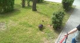 Szczury zadomowiły się na Zabobrzu