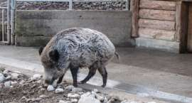 Marian Zagórny oskarżony o znęcanie się nad dzikiem - ruszył proces
