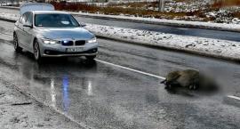 Jelenia Góra : Samochód śmiertelnie potrącił dzika
