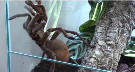 Pająki i skorpiony opanowały muzeum