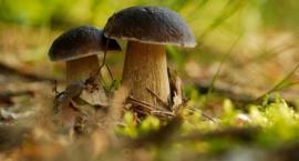 Trwa sezon grzybobrania. Sanepid ostrzega i radzi