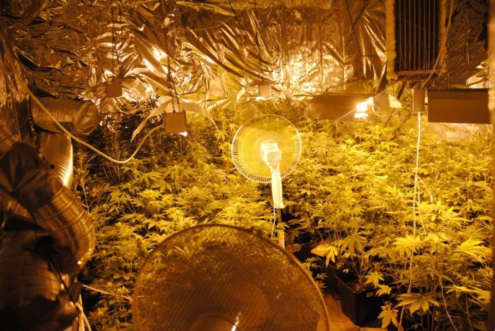 Biznes i Praca, Nielegalna hodowla marihuany - zdjęcie, fotografia