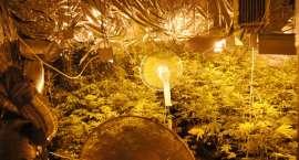 Nielegalna hodowla marihuany