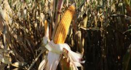 Na polu kukurydzy