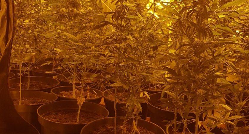 Komunikaty Policji, Plantacja marihuany mieszkaniu Policja zatrzymała letniego hodowcę - zdjęcie, fotografia