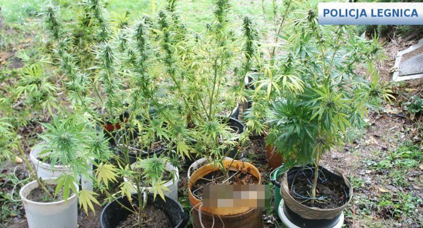 Sprawy kryminalne, Plantacja marihuany Legnicą Policja zatrzymała dilera [ZDJĘCIA] - zdjęcie, fotografia