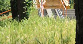 Nareszcie wiadomo, dlaczego w Legnicy nie kosi się traw
