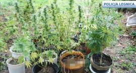 Plantacja marihuany pod Legnicą. Policja zatrzymała dilera [ZDJĘCIA]