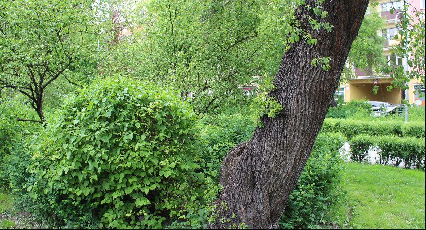 Ochrona środowiska - ekologia, będzie wycinki drzew Plantach - zdjęcie, fotografia
