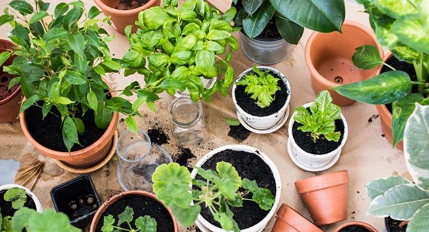 Atrakcje i Ciekawostki, Wielka Kaliska Wymiana Roślin - zdjęcie, fotografia