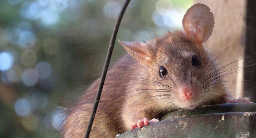 Ochrona środowiska - ekologia, dziurelli zagnieździły szczury - zdjęcie, fotografia