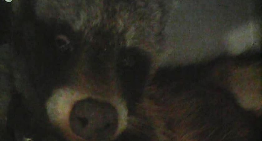 Zwierzęta, Kaliszu żyją jenoty - zdjęcie, fotografia