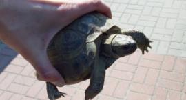 Żółw, miłośnik spacerów