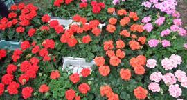 Kaliszu, powitaj przyjezdnych kwiatami