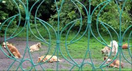 Wataha psów terroryzuje osiedle