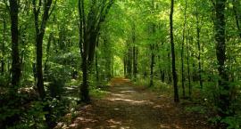 W opatóweckim lesie wycinają drzewa