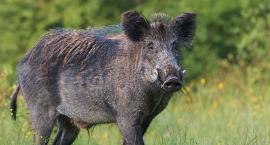 Afrykański pomór świń już w Wielkopolsce!