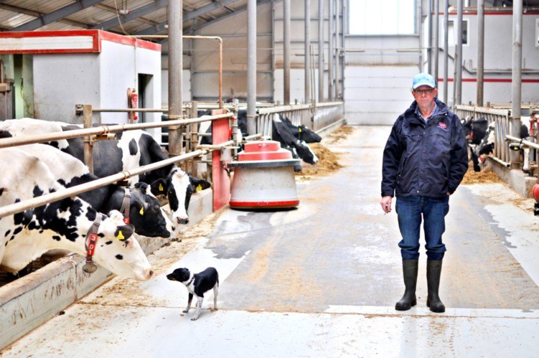 Hodowla, jedna największych obór kraju Holender produkuje mleko Bukowcem - zdjęcie, fotografia