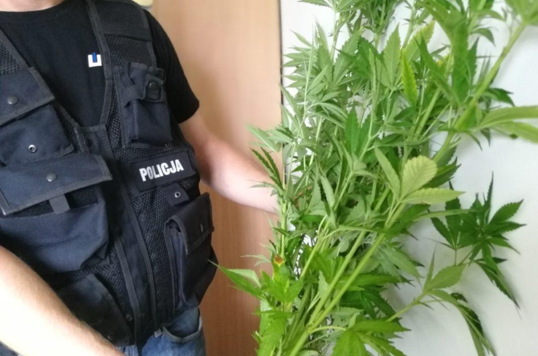 Narkotyki, Plantacja konopi zlikwidowana - zdjęcie, fotografia