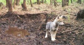 Pojawiają się kolejne informacje o wilkach widzianych w powiecie. Czy to prawda? Co warto wiedzieć o wilkach?