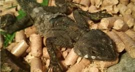 Jaszczurka z Izraela znaleziona w Mondi. Jak pojawiła się w Polsce?