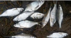 Dziesiątki śniętych ryb